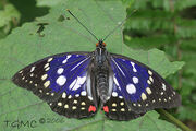 Great purple emperor butterfly