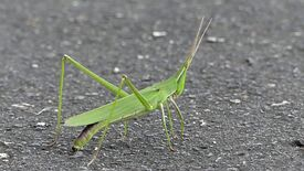 Longheaded locust