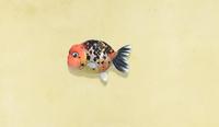 NH-ranchu-goldfish