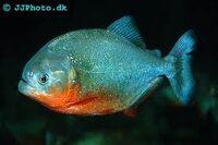 ImagesCAQ3QUNP red bellied piranha