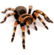 20090403 tarantula