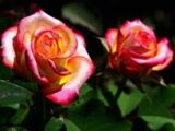 Flores híbridas