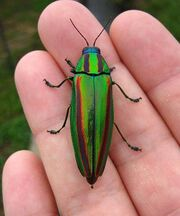 Jewel-Beetle-Shell-Teaches-Scientists-to-Make-Colors-2