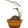 Coconutpalmcf.png