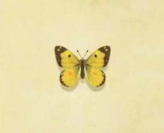動森-斑緣點粉蝶