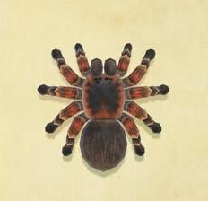 NH-Tarantula