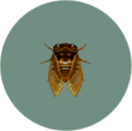 Brown Cicada (City Folk)