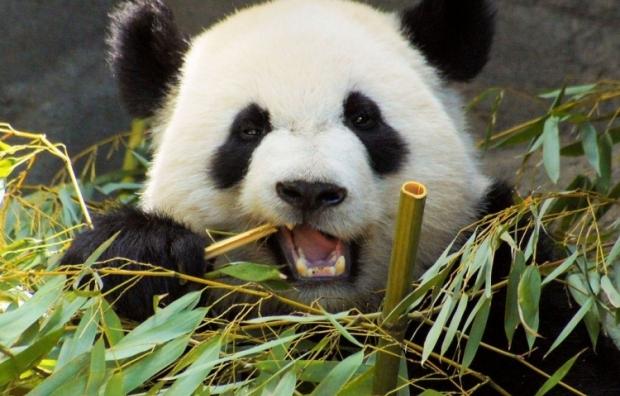 C mo podemos ayudar a los animales en peligro de extinci n - Reproduccion del bambu ...