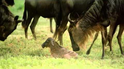 El Serengueti - Documental (4 4) HD
