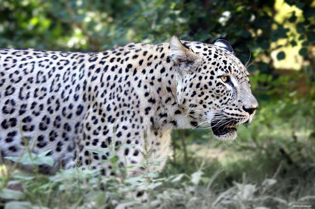 File:Persian leopard.jpg