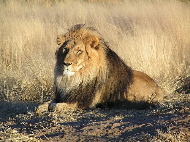 File:800px-Lion waiting in Nambia.jpg