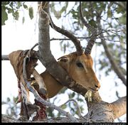 Leopard-kill-impala-in-tree-1.3