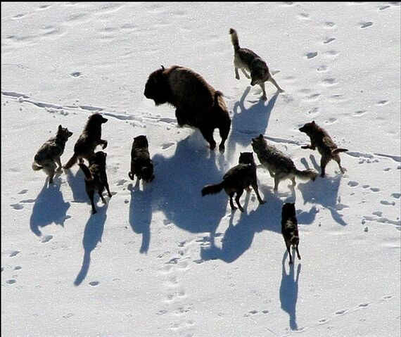 File:Wolves and a bison.jpg