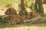 Lion pride image 1