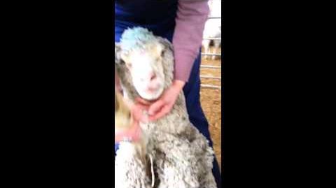 Examine a sheep