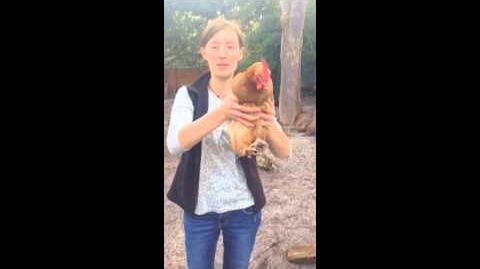 Restrain a chicken