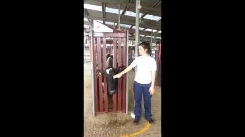 Cattle temperament