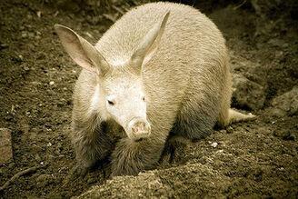 Oritteropo-aardvark-mhanga