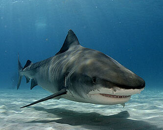 Tiger shark1