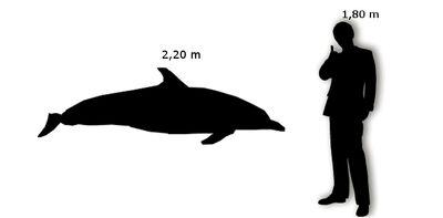 Delfino Comune Uomo