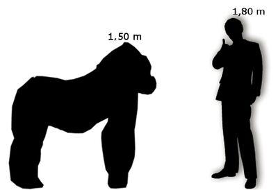 Gorilla di Pianura Occidentale Uomo