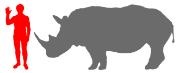White Rhinoceros And Human