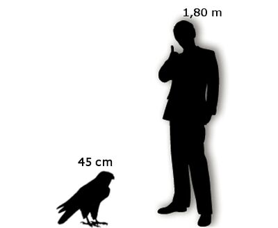 Falco Pellegrino Uomo