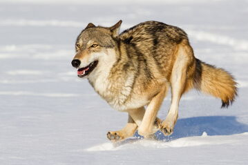 1280-507244073-gray-wolf-in-winter