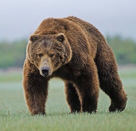 A-male-Kodiak-bear-has-been-known-to-weigh-800kgs