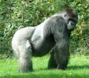 Gorilla di Pianura Occidentale