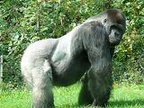 Gorilla di Pianura Occidentale