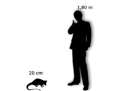 Opossum dalla a Coda Uomo