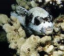 Pesce Palla Mascherato