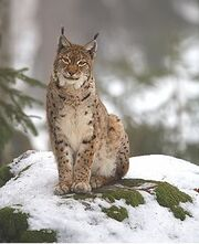 Lynx lynx 2 (Martin Mecnarowski)