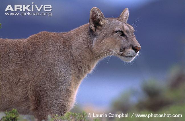 Cougar | Animals Wiki | Fandom