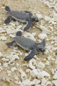 Whittier baby turtles