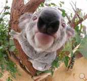 Thumb koala9.jpg b52ecd6ff51329acec9e32beb7937e86 160x160 wm-1