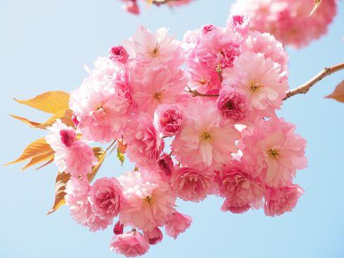 Cherry-blossom-1260641 1920