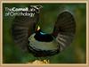Victoria Riflebird