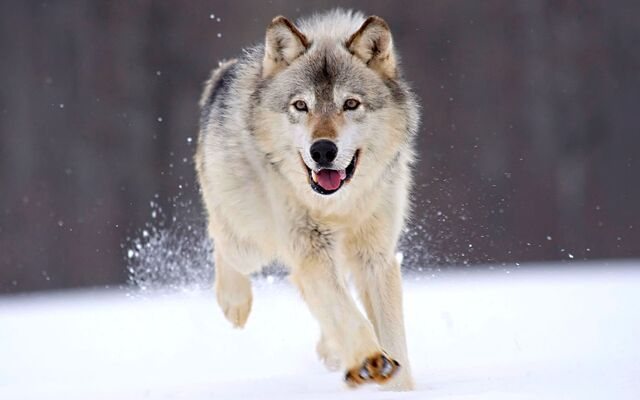 File:Running-wolf-1920x1200.jpg