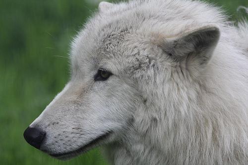 File:Artic Wolf 0810.jpg
