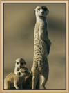 Appondale Meerkat