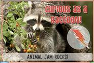 Raccoonjag