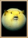 Crystal Reef Pufferfish