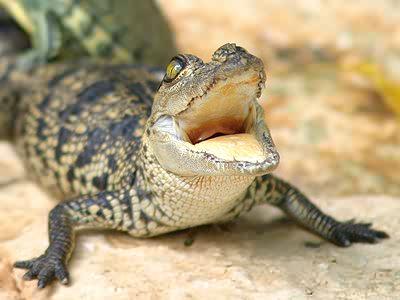 image baby crocodile jpg animal jam wiki fandom powered by wikia