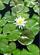 Water Lilies Balloosh