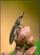 Click Beetle Balloosh