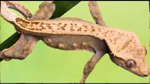 Geckos 2