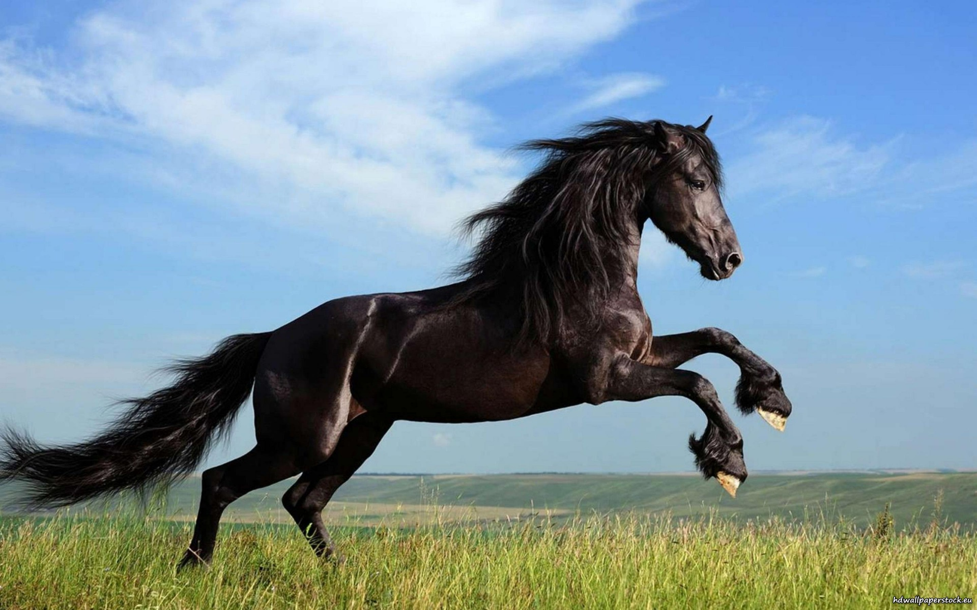 Jumping Black Horse Hd Wallpapers Cool Desktop Background Images Widescreen