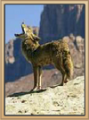Coral Canyons Coyote